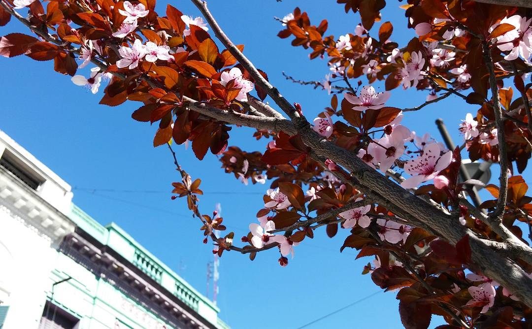 #springiscoming #arbol #fiori #flores #flowers #cielo #sky #Laprida #lomasdezamora