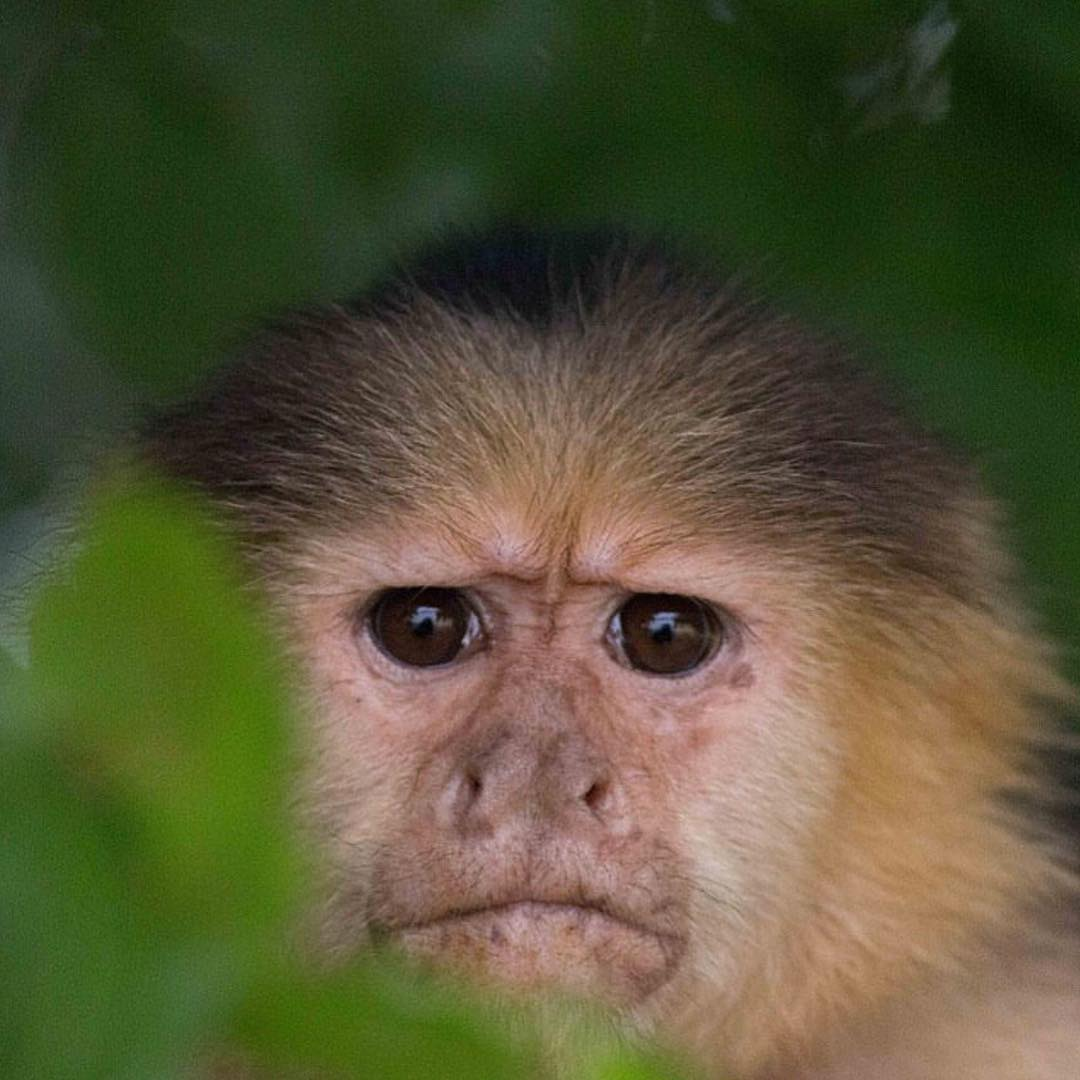 When you think it's Friday but you realize it's actually only Thursday... #Cuipo #SaveRainforest #Capuchin #Panama #ThursdayFeels