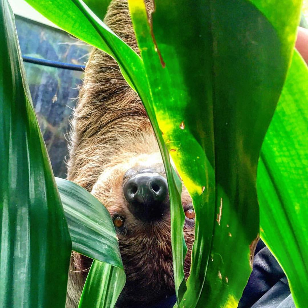 You vs. #Sloth: Who would win in a staring eye contest? #Cuipo #SaveRainforest #Slothlife #SpiritAnimal