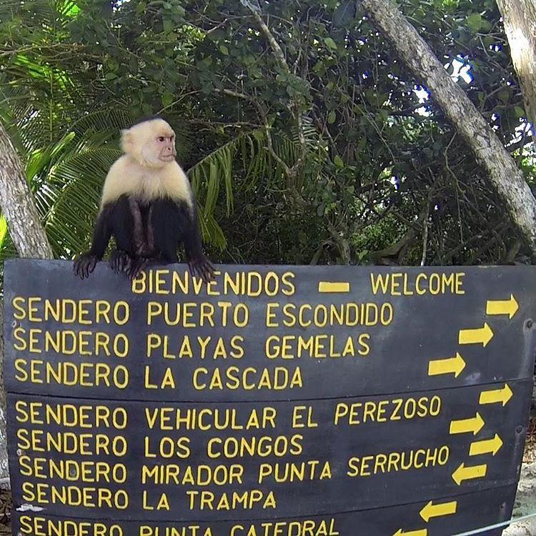 Asi es, llegando a las playas del parque nacional manuel antonio, la bienvenida es de los monos capuchinos. Se ruega no alimentarlos. #all_my_own #agean_animals #capuchino #mono #estaes_america #descubrecostarica #parquenacional #manuelantonio #welcome...