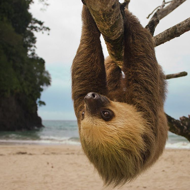 Just hanging thinking about whether to #sloth it out this three day weekend or to get out and enjoy these last days of #summer. #Cuipo #SaveRainforest #LaborDayWeekend #Slothlife #HangLoose #EndlessSummer