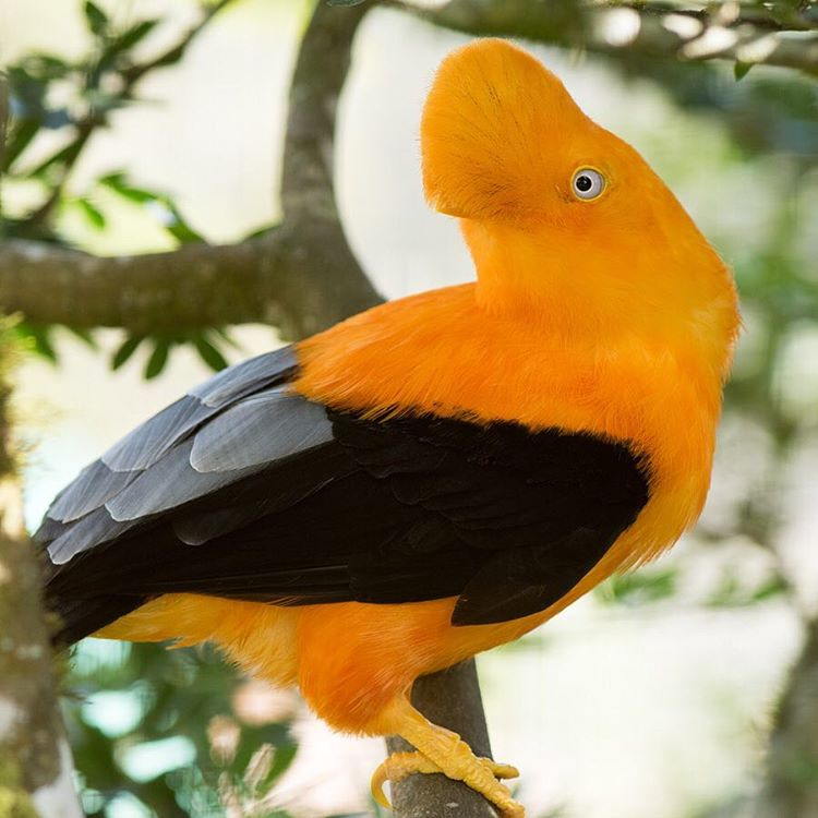 Q: What has brightly colored plumage, lives among the rocky areas of tropical rainforests and is the national bird of #Peru?  A: Gallito de las rocas #Cuipo #SaveRainforest #WildlifeWednesday #BirdOfTheDay