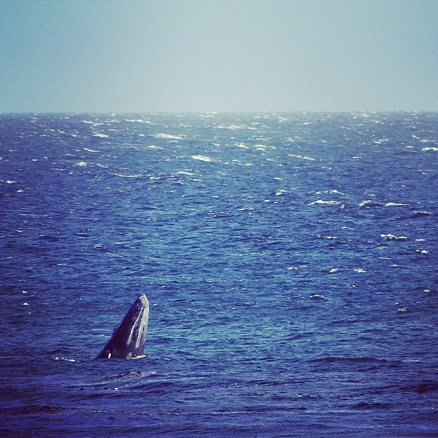~Whales breaching by the Lane today. Santa Cruz is pretty epic~ #HotlineWetsuits #SantaCruz #Whales #California