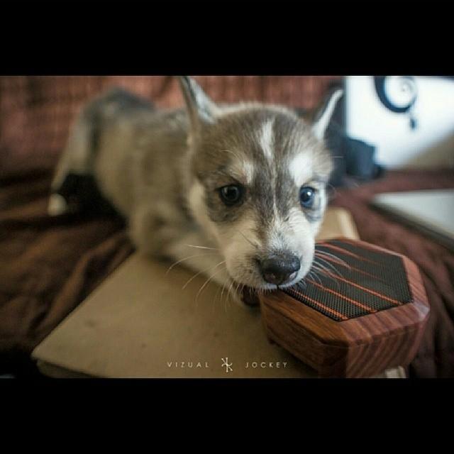 @vizualjockey #shoutout #husky #puppy #swagphotooftheday #boombotix #woodgrain