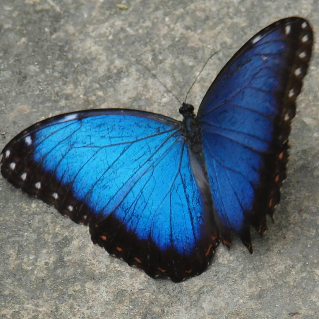 Azul...como el mar azul, pero mas fragil que una papel y vuela.  #arte_of_nature #creacion #naturaleza #butterfly #mariposa #azul #agean_animals #fotografia #insect #global4nature #awesome #ig_great_pics #ig_butterfly #nikon #d3100 #earthpix #fragil...