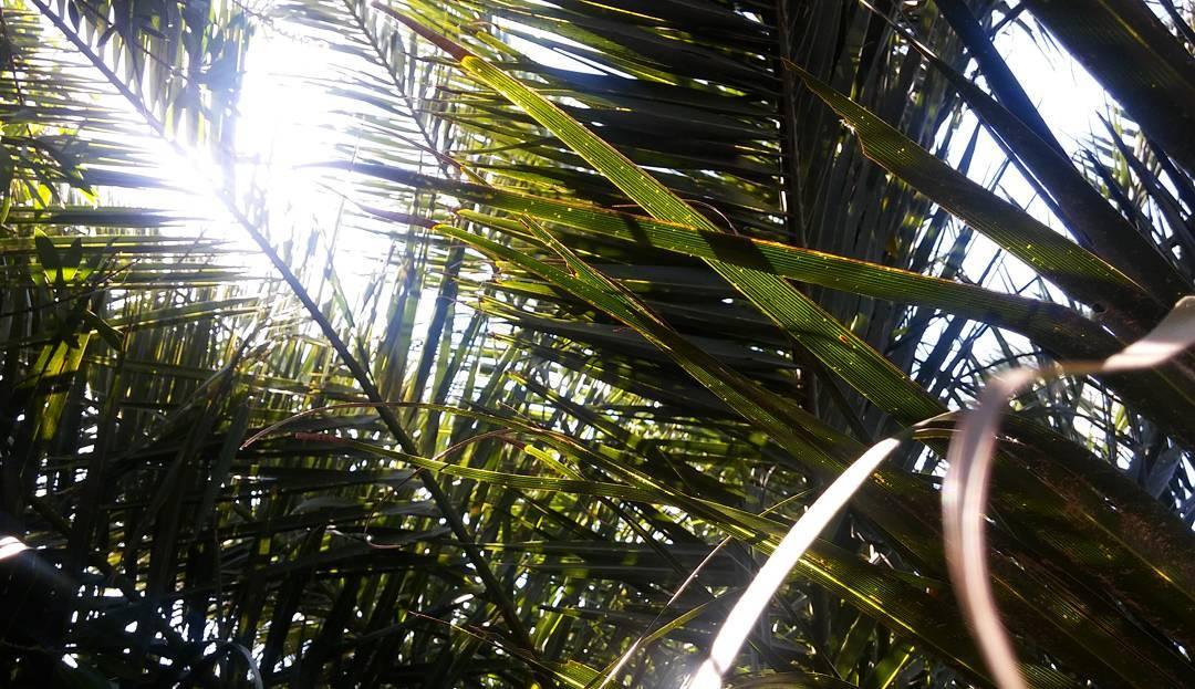 Es intentar capturar con una lente un instante perfecto y continuo, que se escurre como el sol líquido del último domingo de invierno.  #ph #photography #nature #natural #naturaleza #life #vida #vita #gardens #palmera #palms #vegetacion #sol #sunday...