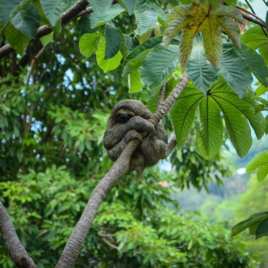 What we wouldn't do to trade spots with this #sloth for a day. #Cuipo #SaveRainforest #Slothlife #LiveSlow
