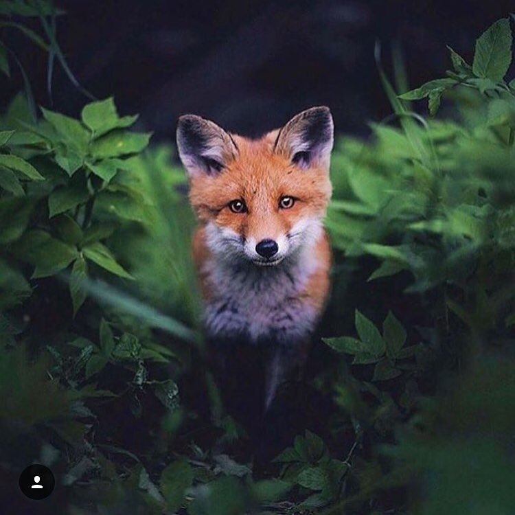 Just saying hi. A curious Red Fox stopping by for a visit.
