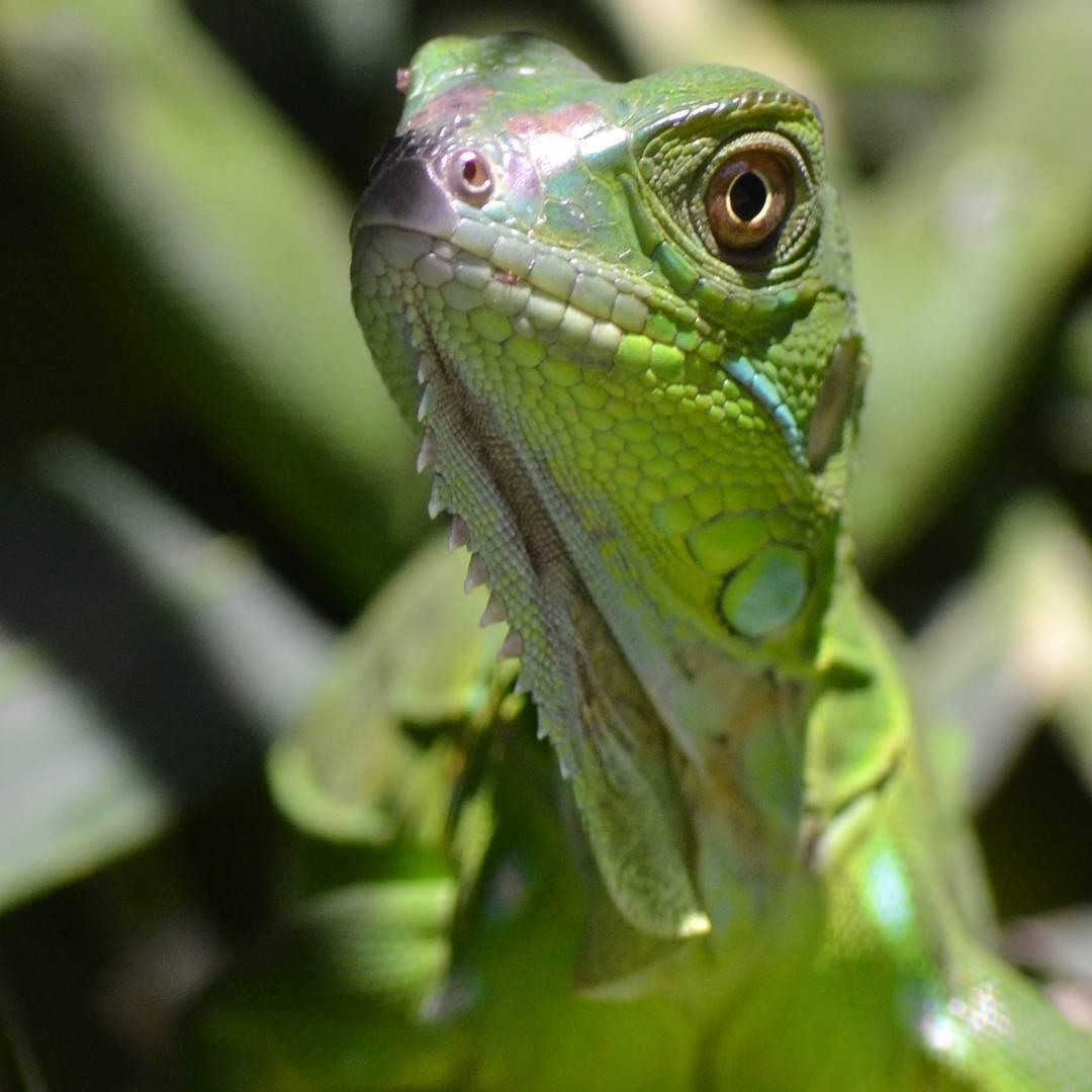 Un diseño y todos sus detalles estan perfectamente pensados. Eso me gusta! #arte_of_nature #creacion #perfect #iguana #verde #primerplano #agean_animals #agean_fotografia #global4nature #reinoanimal #d3100 #nikon #descubrecostarica #tamarindo...