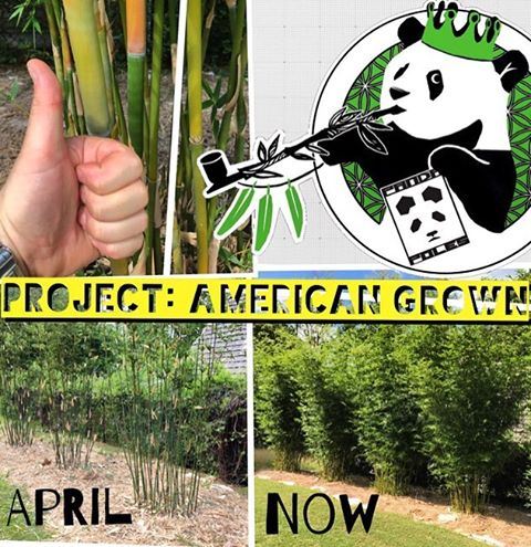 ​Project: American Grown | Update No. 7! ​For anyone not familiar with this project, over the past two and a half years, we've been working with our good friend--and brother in botany--Josh Eisenberg, to grow 'our' own bamboo on his land near Atlanta,...