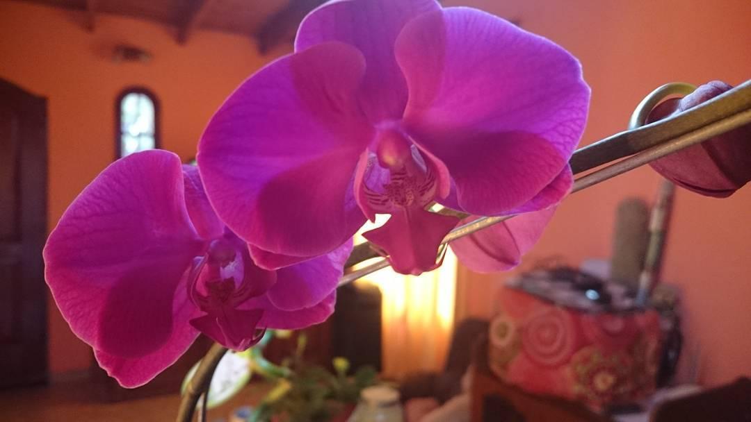 #orquideaphalaenopsis ❤. Hermosa.