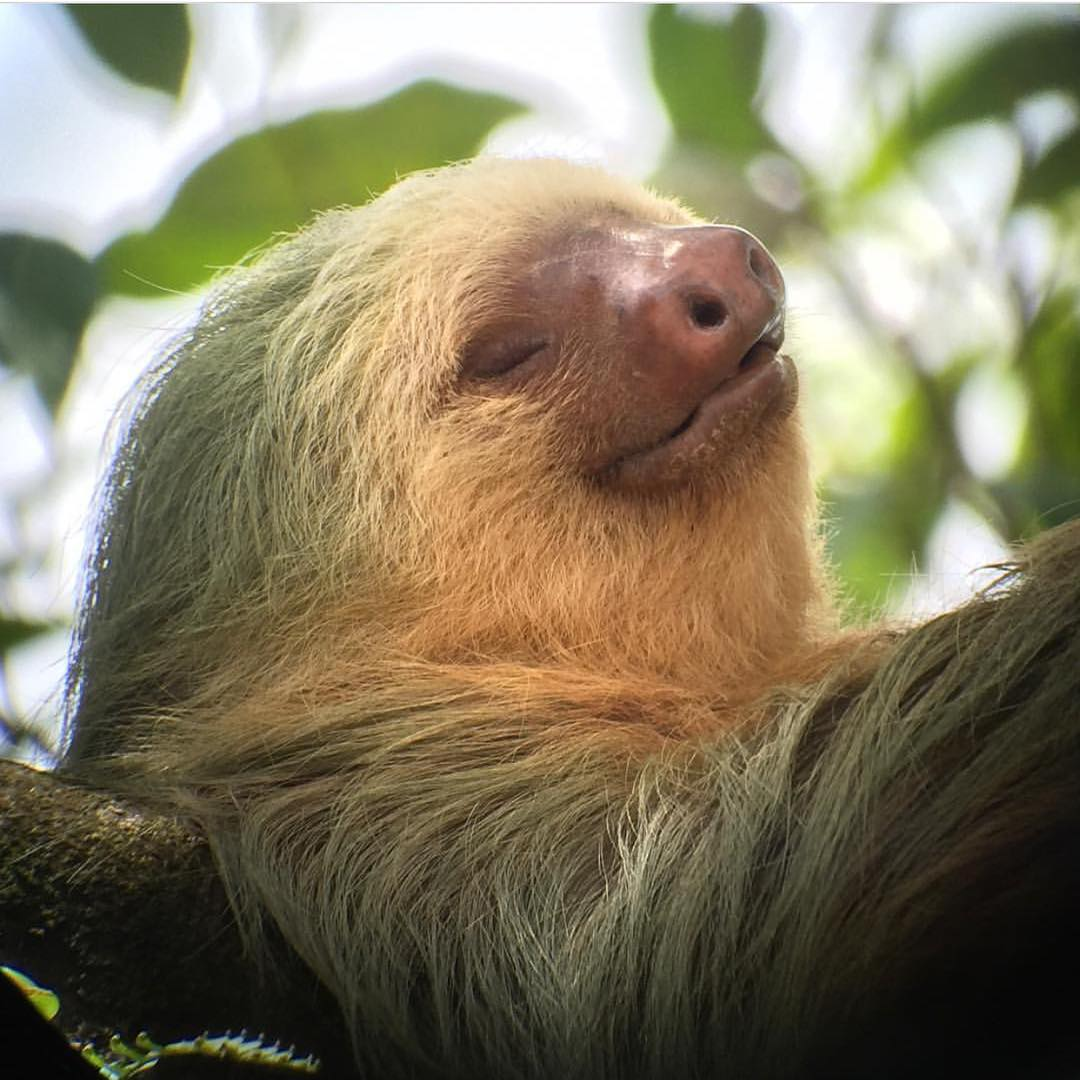 Sunday's are for #sloths and snoozin'. #Cuipo #SaveRainforest #TakingItEasy