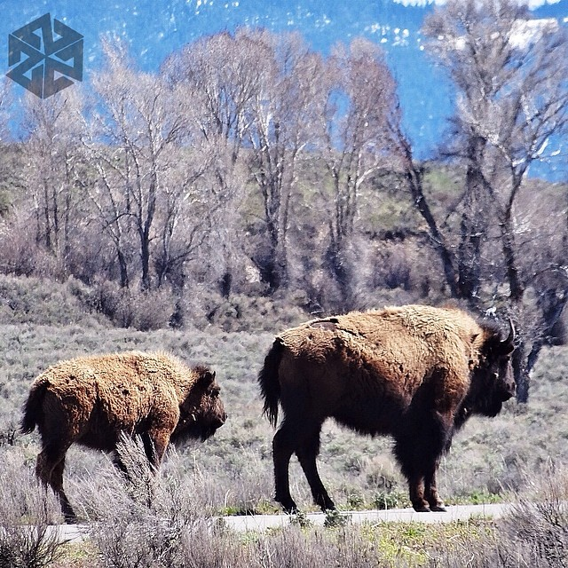 Bison out for a rip in Teton National Park. #avalon7 #jacksonhole #thinkoutside www.avalon7.co