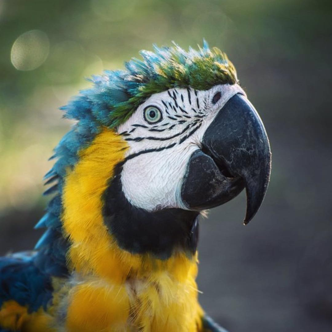 Blue and Yellow Macaws are found from #Panama throughout much of the #Amazon basin to northern #Paraguay. Like other large birds, they quickly disappear from areas impacted by deforestation and hunting. #Cuipo #SaveRainforest #WildlifeWednesday...