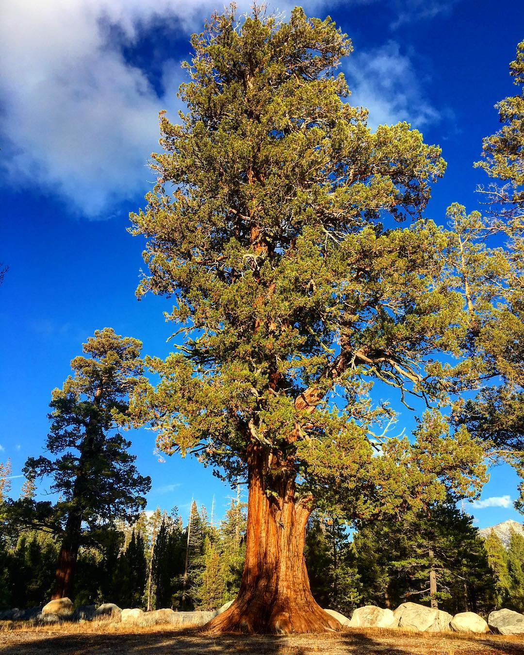 The Western Juniper, also known as a Sierra Juniper. One of the many great trees in our fine little town of Meyers, California. #risedesigns #risedesignstahoe #inspiredbynature #drivenbydesign #tahoesouth #eldoradocounty #tahoesnaps #tahoelife...