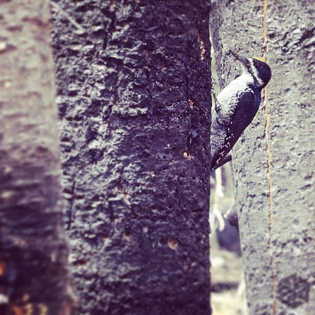 The elusive American Three-Toed Woodpecker. #jacksonhole #avalon7 #thinkoutside #woodpecker www.avalon7.co