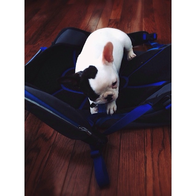 Packs and puppies. Baby Matilda eatin up the Slay. #mhmgear #frenchie #frenchbulldog #puppy
