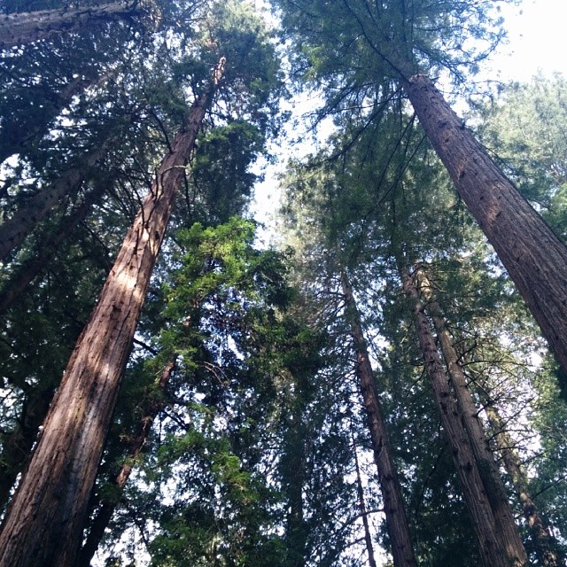 100 ft tall trees #muirwoods