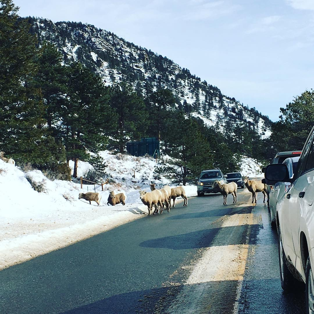 .....and ten minutes of some wildlife traffic #rockymountainnationalpark