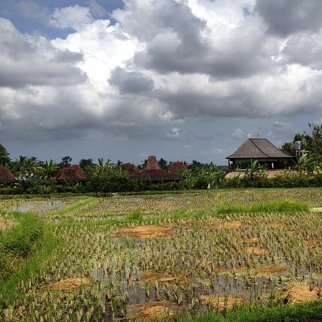 This photo doesn't do this view justice #ubud #riceterraces #lush #ducks #bali #indo #nofilter