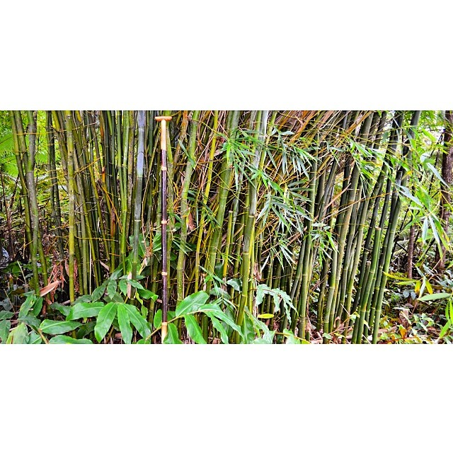 This is where our paddles come from. #bambooforest #edible #naturescarbonfiber #paddlehi #wiseguides #renewable #artwithpurpose