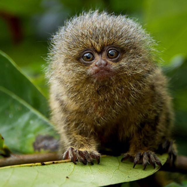 Pygmy marmosets are the smallest monkeys you can find in the rainforest! Now that's a face with saving, isn't it? #Saverainforest with #Cuipo today!