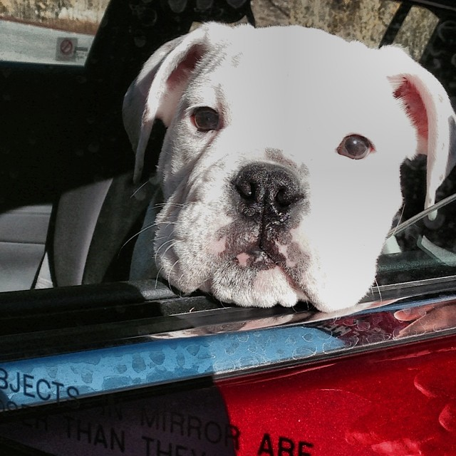 This guy is hitting the road | #hotkarl | @bulldogsinstagram @bulldogstuff