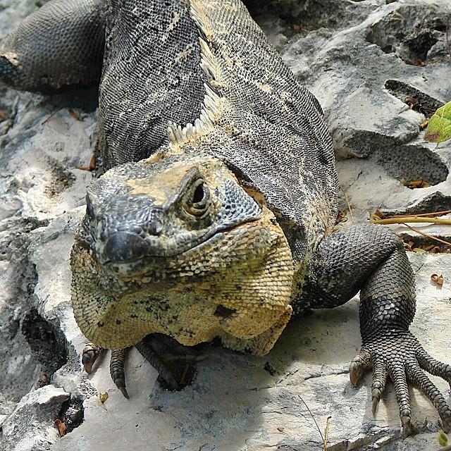 Iguana caribeña