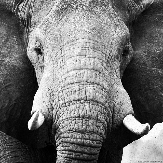 96 elephants are killed every day in Africa. In honor of #WorldElephantDay, show your support and #gogrey with @TheWCS. #wildlife #conservation