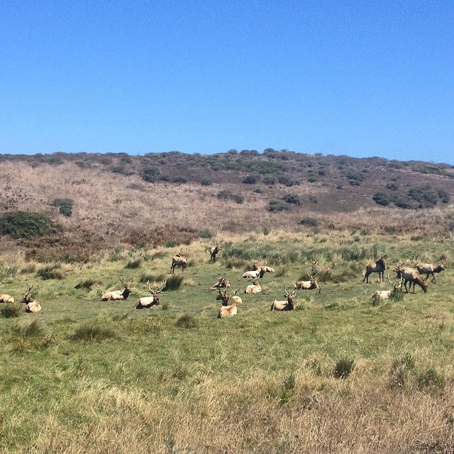 Who knew there was an elk reserve so close to #sanfrancisco? #wildlife #pointreyes #nationalseashore #california #wild #hiking