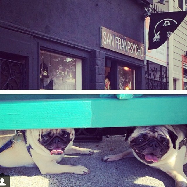 Beezer and Itchy want to join you at @sanfranpsycho to shop for a @kinda_fancy #bikinis!! Bring some bacon or cookies they say.  #pugs #sannyfranny #indiansummer #california #surf