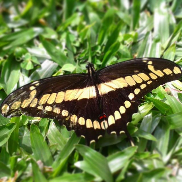 Mariposa limonero