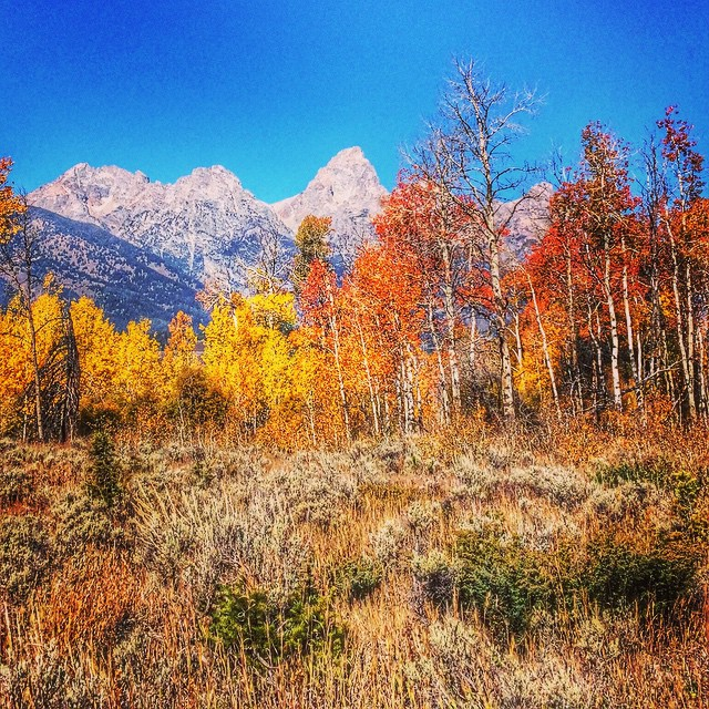 Fall just keeps getting better in #jacksonhole! #tetons #fallfoliage #blacktailbutte