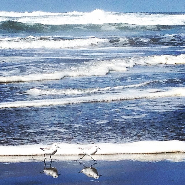 Little birdies and big waves at #oceanbeach this morning! #snowyplover #noriega #sanfrancisco #surf