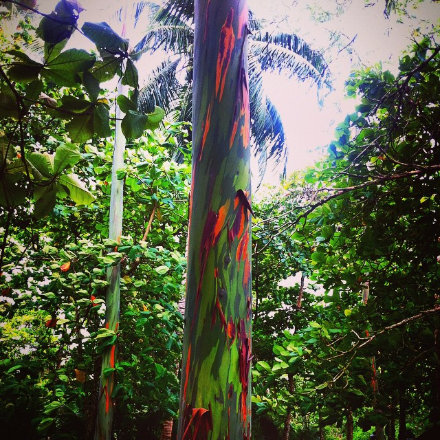 These beautiful #rainboweucalyptus trees are found right in Marino Ballena National Park near Playa Chaman