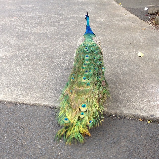#dontpanicitsorganic #peacock