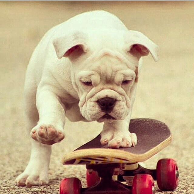 #petsthatskate #startingyoung #puppy #cute #fun #skateboarding #skate #skating #sk8 #skatelife #skater