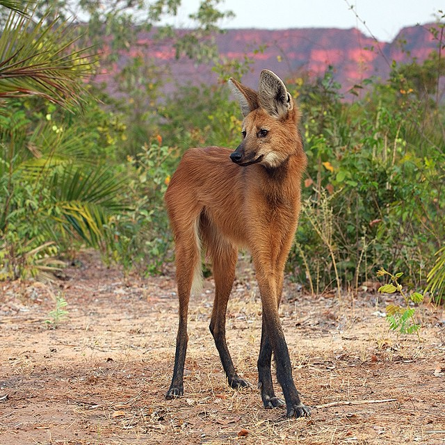 The maned wolf is a South American native whose range extends from the Amazon basin rain forest in Brazil to the dry shrub forests of Paraguay and Northern Argentina. #nicelegs #saverainforest