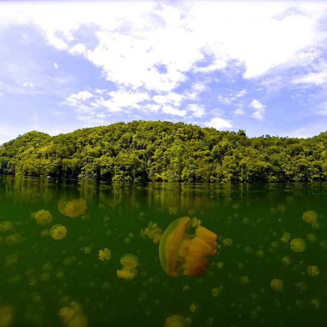 Photo of the Day! Jellyfish Lake in Palau. Photo by @tishtassh.