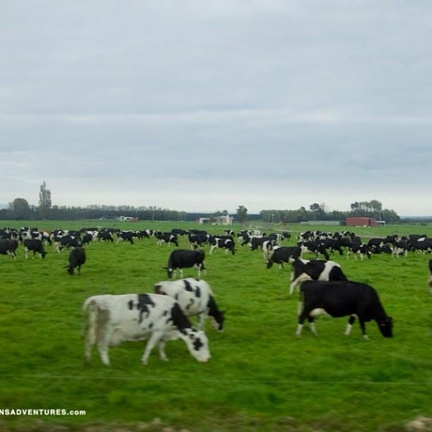 Mooooooo!  #NewZealand #sarahleephoto #cowperspective