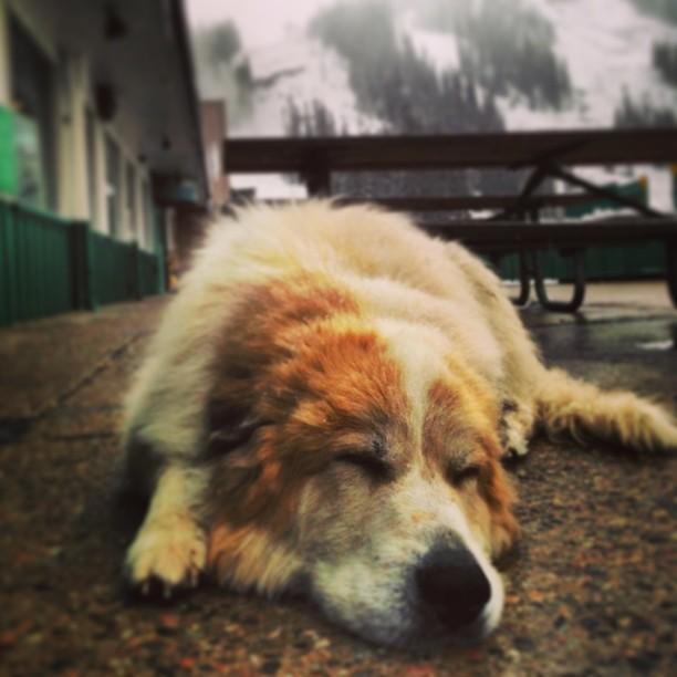 Big dog loving the snow @arapahoe_basin  #bigwinter coming