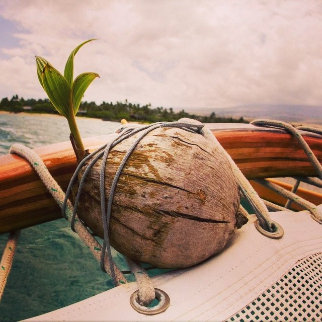 new life. #mfield #canoesail #coconut #sarahleephoto #hilife