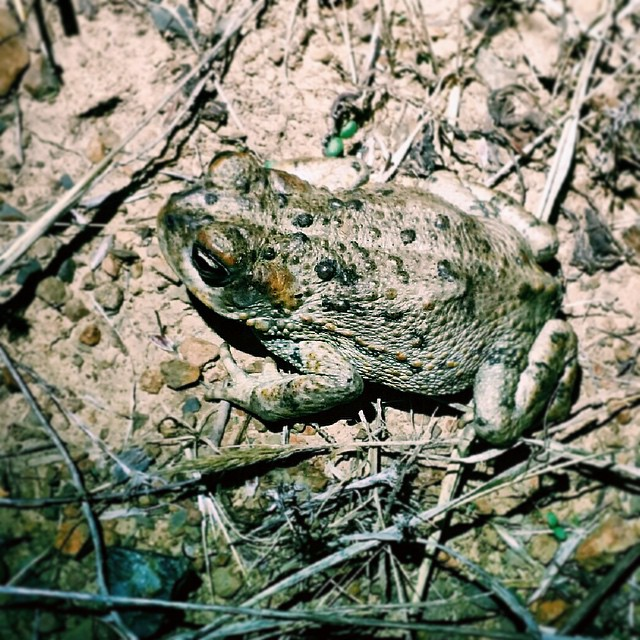 We went on our first company night ride of the year and almost ran over this little guy. He and his relatives were hanging out all over the local dirt loop |