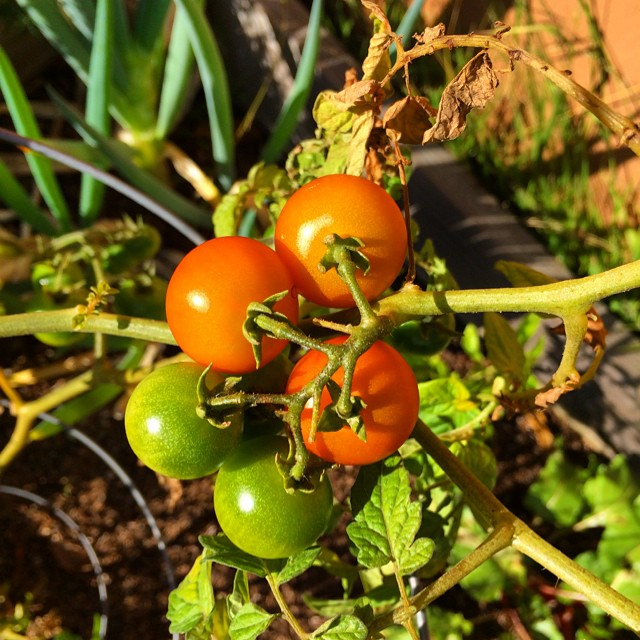 Who says you can't grow tomatoes in the #sunset  #sanfrancisco #growyourown #urbangarden