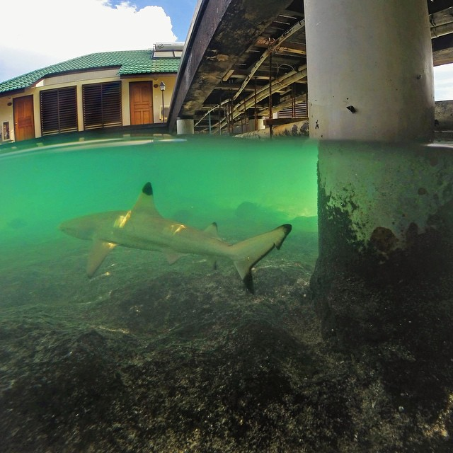 Over under shot of a black tip shark in the Maldives. Photo: @maufooz_mappu #gopro #gopole #gopoleevo #shark #maldives