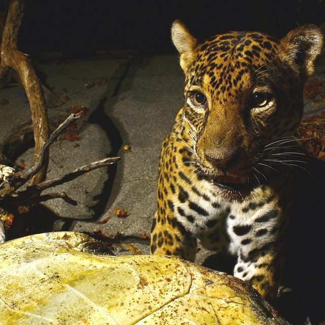 """Nothing prepared me for the actuality of walking in almost total blackness, being watched by a 200-plus-pound killing machine with excellent night vision and no fresh turtle kills since last week."" –Nikki Mann, ASC Guide  A jaguar making a meal out of..."