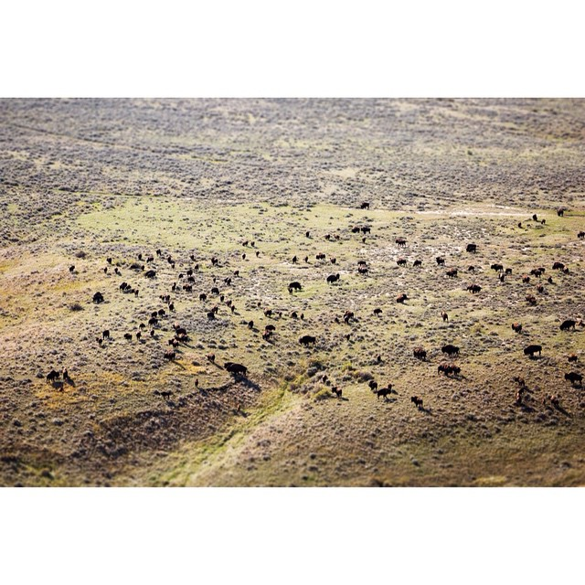 #Bison herd from above at @americanprairie.  Photographer and filmmaker Erik Goldstein embedded himself with the #ASClandmark crew. Take a look at the landscape and their lives in the trailer for his film on ASC's Facebook page....