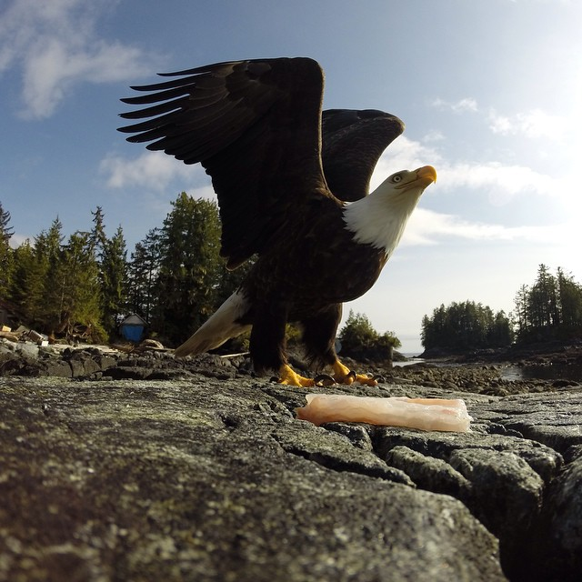 Photo of the Day! A bald eagle gets ready to take flight in British Columbia, Canada. Photo by Matthew Danes.