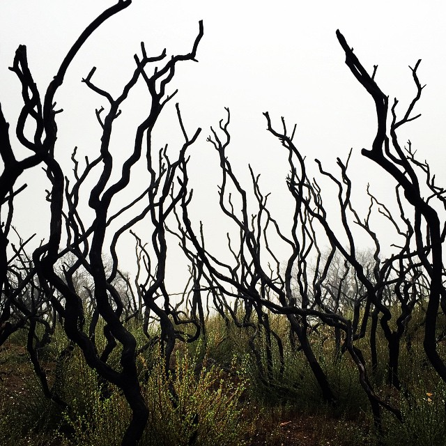 Creepy trees against the fog from yesterday's hike - remnants of the fire on Mt.Diablo with new regrowth sprouting #lategram #sanfrancisco #hiking #nature #circleoflife #mtdiablo
