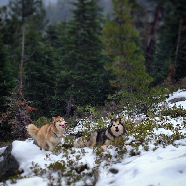 The Coalition wolf pack is stoked that it's snowing in #Tahoe right now. We're long over due for a pow day. #prayforsnow #winterishere